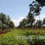 Huyện vùng biên Kon Tum phá thế độc canh cao su