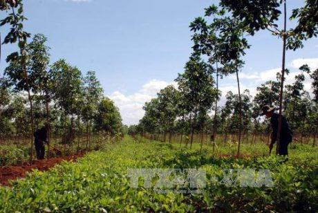 Vườn cao su của Công ty CP Cao su Sa Thầy. Ảnh: Cao Nguyên/TTXVN