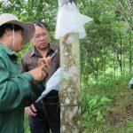 Công ty CPCS Điện Biên lạc quan mùa cạo mới