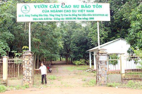 Vườn cây cao su bảo tồn tại Lô 9 Nông trường Dầu Giây, TCT Cao su Đồng Nai.