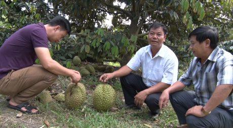 Anh Bùi Trung Sơn (ngồi giữa) tại vườn cây sầu riêng trăm triệu của gia đình
