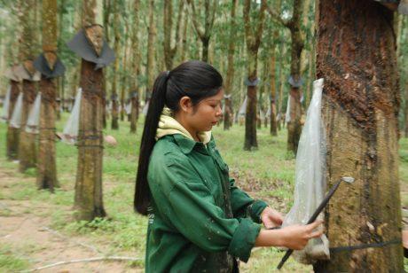 Màng phủ chén giúp tận thu mủ nước khi mưa đột xuất. Ảnh: Văn Vĩnh