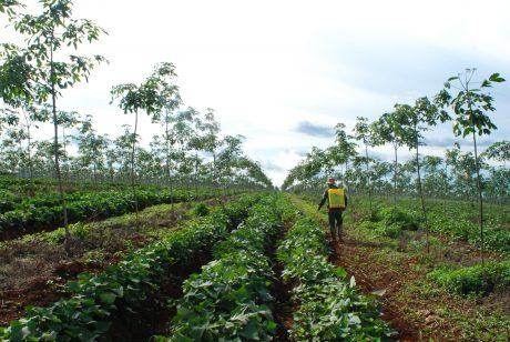 Công tác trồng xen đóng góp đáng kể cho chương trình REDD+. Ảnh: Văn Vĩnh