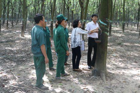 Kỹ thuật NT và Đội kiểm tra phần cây cạo của công nhân