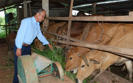 Anh Nguyễn Trung Kiên bên đàn bò tại trang trại của gia đình.