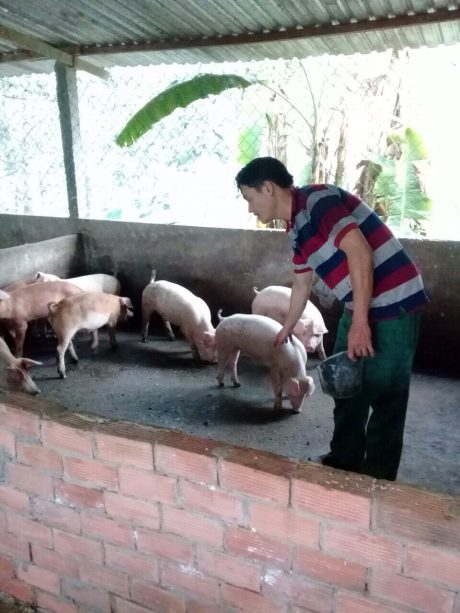 Anh Bùi Ngọc Cường đang chăm sóc đàn heo.