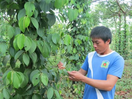 Anh Lương Văn Thắng chăm sóc vườn tiêu của gia đình.