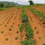 Giá trị từ những lô cao su trồng xen canh