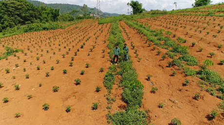 Cây cà phê mới trồng xen canh trong cao su tại Công ty CPCS Sơn La