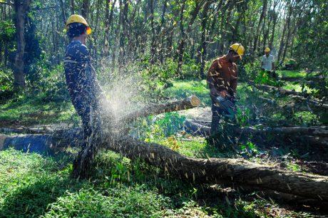 Mỗi năm VRG cung cấp khoảng 1,5 triệu m³ gỗ từ nguồn cao su thanh lý. Ảnh: Bùi Thái Dũng
