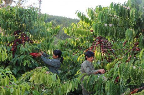 Vợ chồng anh Đức – chị Thanh đang thu hoạch cà phê.
