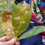 Bệnh rụng lá Fusicoccum bùng phát tại Indonesia