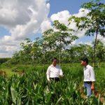 Tiếp tục trồng xen nâng cao hiệu quả sử dụng đất