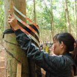 Cao su Chư Păh tìm giải pháp nâng cao năng suất vườn cây