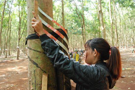 Chuẩn bị tốt trước mùa cạo góp phần quan trọng vào việc tăng năng suất cho vườn cây