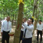 Cao su Dầu Tiếng Campuchia mở cạo 150 ha