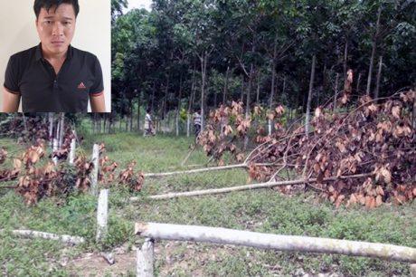 Đối tượng Lê Văn Bảy và hiện trường cây cao su bị cưa.