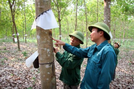 Cán bộ kỹ thuật Công ty CPCS Lai Châu II hướng dẫn công nhân khai thác mủ cao su.