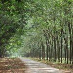 Sắp xuất bản Sổ tay hướng dẫn quản lý rừng cao su bền vững