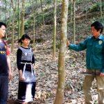 Cao su Lai Châu lên phương án chia sản phẩm cho người góp đất