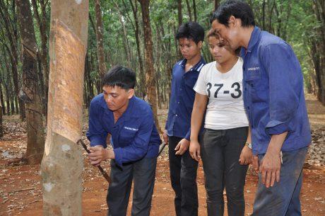 Ảnh: Rơ Lan Bleo hướng dẫn kỹ thuật khai thác mủ cho thợ cạo mới.