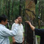 Cao su Tây Nguyên: Sản lượng giảm do mưa kéo dài
