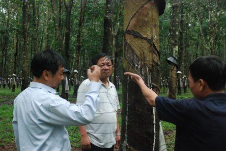 Ảnh: Kiểm tra công tác trang bị vật tư vườn cây trong mùa mưa tại NT Dục Nông – Công ty TNHH MTV Cao su Kon Tum