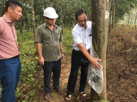 Chủ tịch HĐQT VRG Trần Ngọc Thuận kiểm tra vườn cây khai thác của Công ty