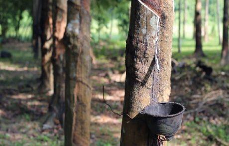 Chính phủ Thái Lan dùng trợ cấp để giảm diện tích trồng cao su tự nhiên.