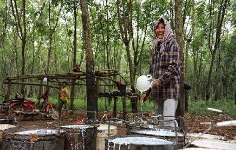 Nhân công thu hoạch cao su tại một đồn điền ở Campuchia. Ảnh: Khmertimes/Mom Sophon