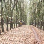 Giải pháp thu hoạch mủ trong điều kiện bất thuận