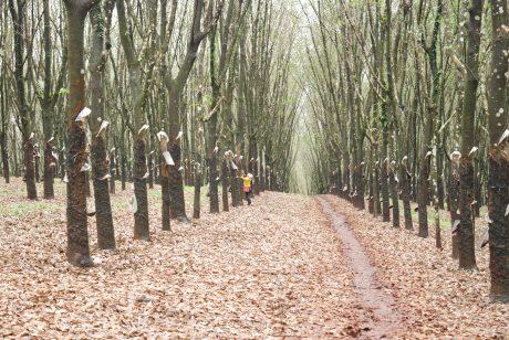 Mưa kéo dài làm vườn cây các công ty Tây Nguyên rụng lá, ảnh hưởng đến công tác khai thác. Ảnh: Văn Vĩnh.