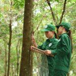 Cao su Phú Riềng: Dẫn đầu về năng suất vườn cây và tái canh trồng mới
