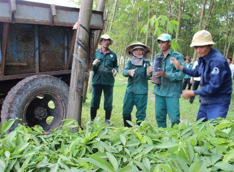 Vận chuyển cây giống chuẩn bị trồng tái canh tại NTCS Thanh An. Ảnh: Phan Thắng