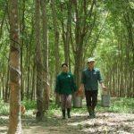 Yêu cầu thực tế quản lý rừng cao su bền vững