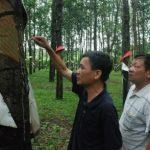 Nông trường Dục Nông (Cao su Kon Tum):Nhiều năm liền dẫn đầu sản lượng công ty