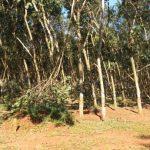 Cao su Hòa Bình: Gãy đổ 10 ngàn cây cao su do ảnh hưởng bão số 9