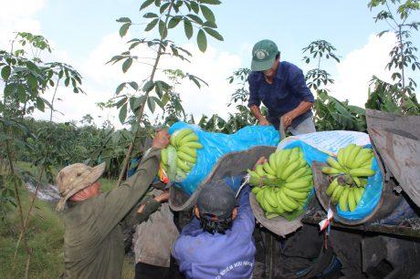 Thu hoạch chuối cấy mô trồng xen tại Nông trường Bến Súc.