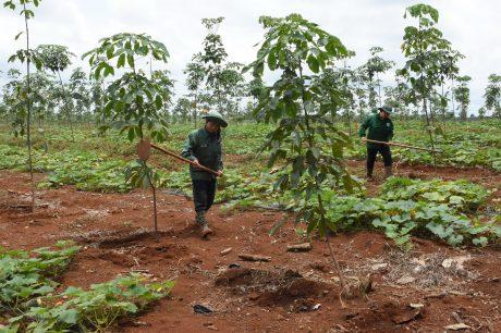 Ban Quản lý Kỹ thuật VRG đã đưa ra các giải pháp nhằm nâng cao chất lượng vườn cây. Ảnh: Vũ Phong