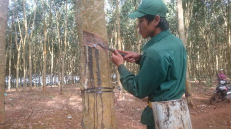 Công nhân Tổ 3, NT Ea Hiao khai thác trên vườn cây.