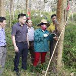 Cao su Hương Khê phấn đấu khai thác 600 tấn vàng trắng năm 2019