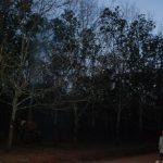Cao su Mang Yang nỗ lực giữ từng chiếc lá