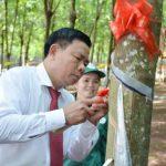Cao su Phú Riềng phấn đấu khai thác vượt  23.300 tấn mủ