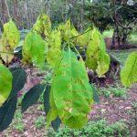 Bệnh rụng lá bùng phát tại Indonesia và Malaysia