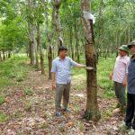 Vụ đề xuất chặt cao su nuôi bò ở Hà Tĩnh: Người trong cuộc nói gì?