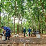 Đề xuất giao 300 ha cao su đang khai thác của Cao su Hà Tĩnh cho doanh nghiệp nuôi bò?