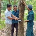 Hiệu quả từ thu hoạch mủ đông ở Cao su Hà Tĩnh