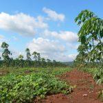Tính linh hoạt trong cơ cấu giống tại cao su Đồng Phú
