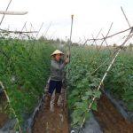 Tạo thu nhập cho người làng từ cây rau dân dã