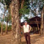 Độc đáo cây cao su trên đảo Phú Quốc
